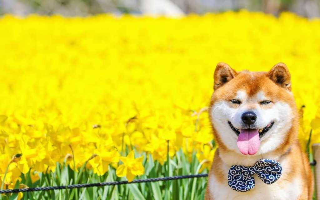 A modern day red Shiba Inu dog